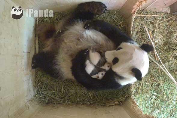 """旅奥大熊猫""""阳阳""""与它的龙凤胎宝宝们"""