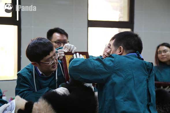 工作人员正在采集大熊猫的掌印