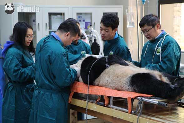 大熊猫接受放归前的最后一次体检