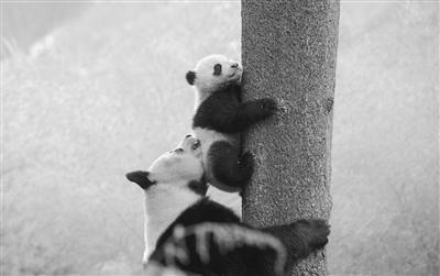 大熊猫妈妈教熊猫宝宝爬树