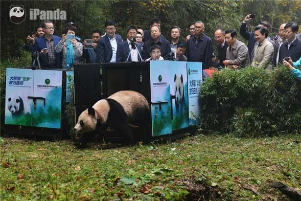 """第一只放归的大熊猫""""华妍"""""""