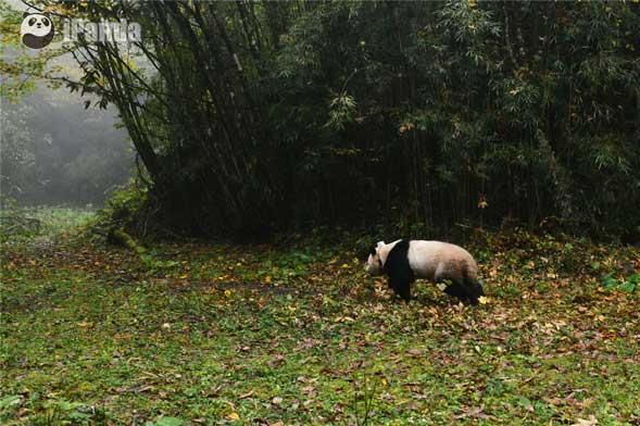 """第二只被放归野外的大熊猫""""张梦"""""""