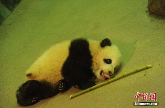 """资料图:出生在美国华盛顿国家动物园的大熊猫""""宝宝""""。中新社发 张蔚然 摄"""