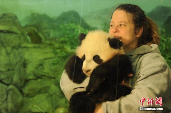"""资料图:2014年,美国华盛顿国家动物园大熊猫幼仔""""宝宝""""首次与公众见面,乘兴而来的美国各地民众差点""""挤爆""""熊猫馆。中新社发 张蔚然 摄"""