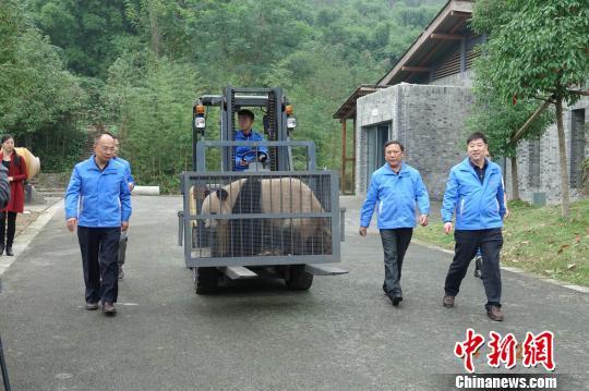 大熊猫在神农架自然保护区和中国大熊猫保护研究中心工作人员的护送下,从都江堰青城山基地启程前往神农架。 罗永斌 摄