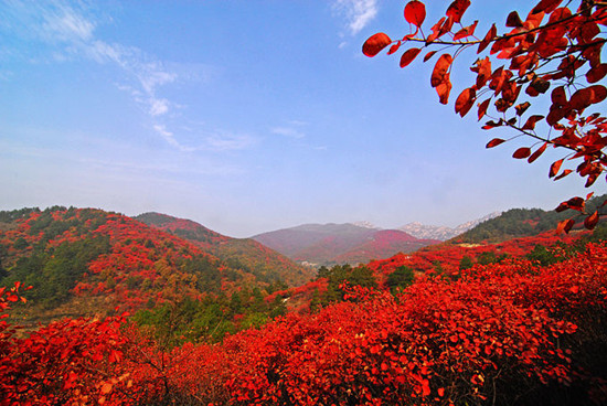 As northern China makes the all-too-quick transition from summer into winter, thousands are flocking to the annual Red Leaf Festival in the suburbs of the Chinese capital, Beijing to view the fiery red and orange scenes.(File Photo))