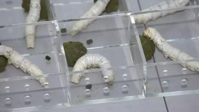 """На """"Тяньгун-2"""" продолжается эксперимент по выращиванию шелкопрядов в условиях невесомости"""