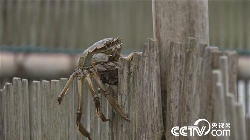 簖蟹是啥蟹 让他迎来爱情赢来财