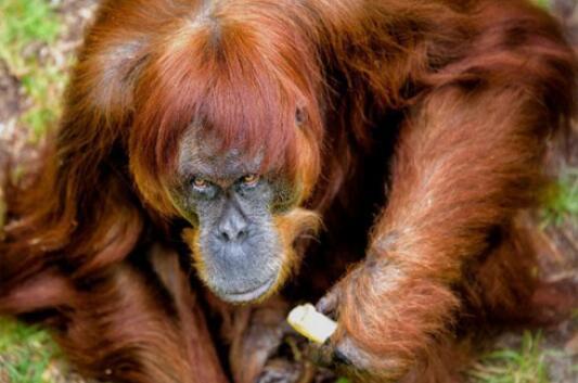 珀斯动物园猩猩迎60岁生日