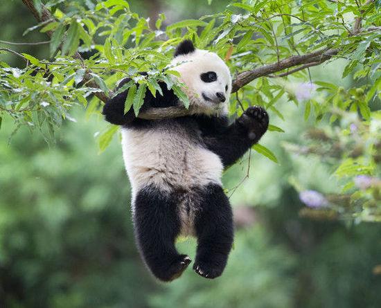 Архив:Панды-двойняшки возвращаются в Китай из США