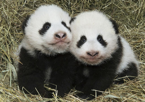 Twin baby pandas born in August at the Vienna zoo finally have names. The male is called Fu Ban, meaning Lucky Companion. The female was named Fu Feng, or Lucky Phoenix. About 12,000 people voted from a selection of names.
