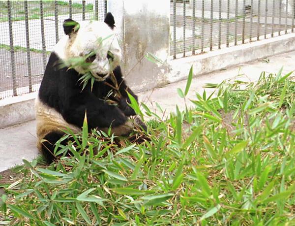 """(资料图片 图为大熊猫""""佳佳""""。新华社记者陈燮摄)"""
