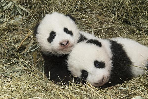 """10月27日在奥地利维也纳美泉宫动物园拍摄的大熊猫龙凤胎宝宝""""福凤""""(左)和""""福伴""""。"""