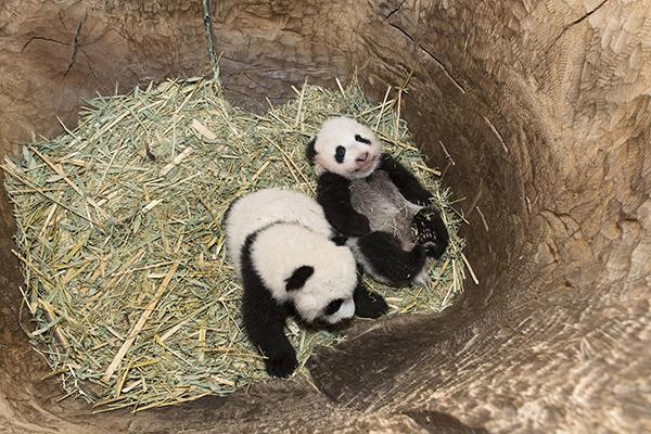 10月27日,在奥地利维也纳美泉宫动物园,大熊猫龙凤胎宝宝躺在树洞里。