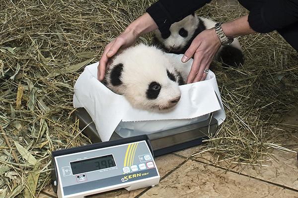 """10月27日,在奥地利维也纳美泉宫动物园,工作人员为大熊猫宝宝""""福伴""""称重。"""
