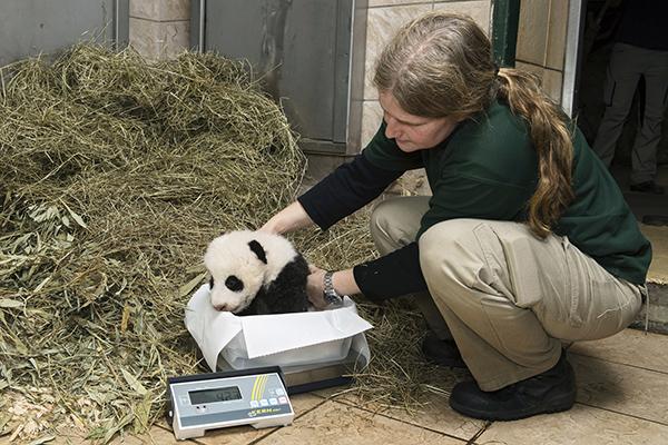 """10月27日,在奥地利维也纳美泉宫动物园,工作人员为大熊猫宝宝""""福凤""""称重。"""