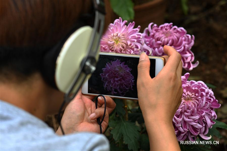 Выставка хризантем в Чанша