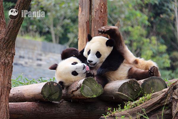 """大熊猫""""青青""""和""""冰冰"""""""