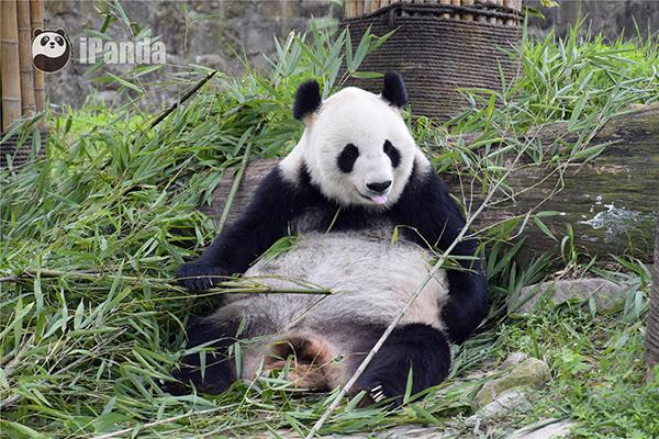 """大熊猫""""英英"""""""