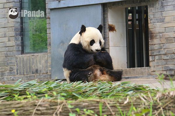 """大熊猫""""戴丽"""""""