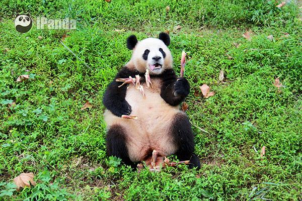 """大熊猫""""冰晶"""""""
