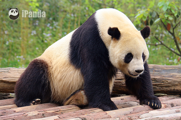 """大熊猫""""泰山"""""""