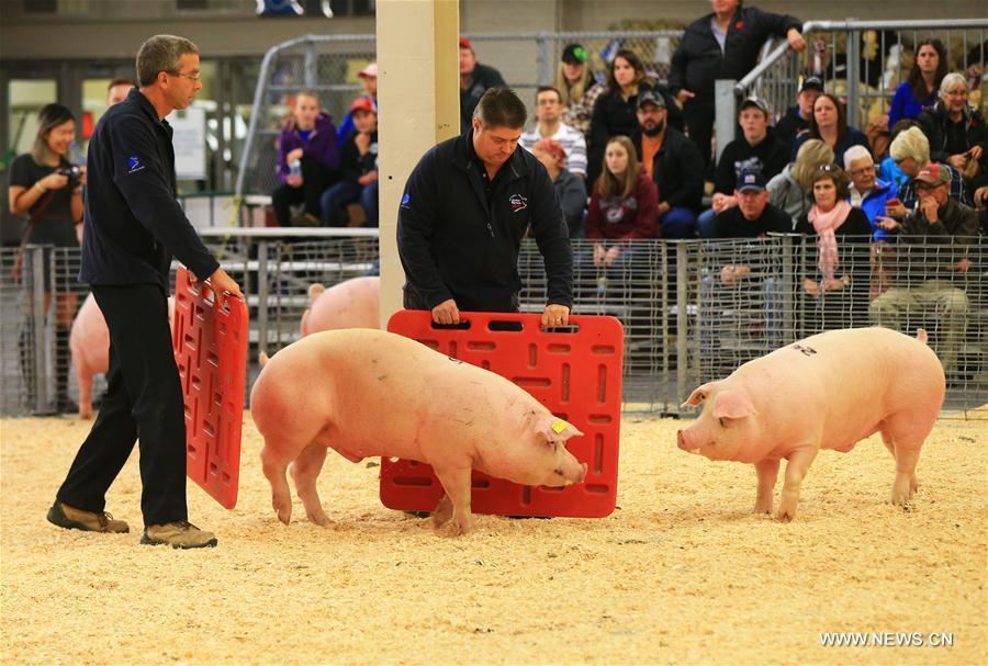 TORONTO, 5 novembre (Xinhua) -- Des cochons sont présentés lors de la 94e Foire royale d