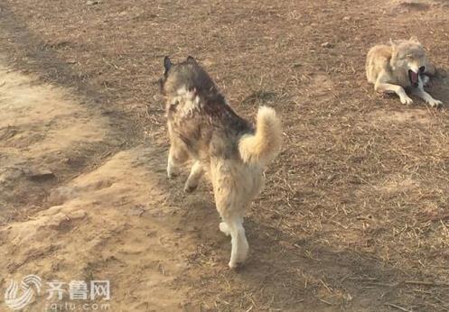 山东一动物园狼舍现哈士奇