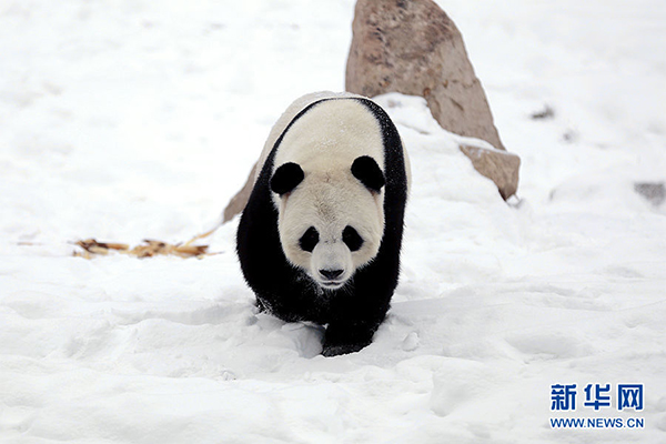 """大熊猫""""佑佑""""兴奋地在雪地里走来走去。"""