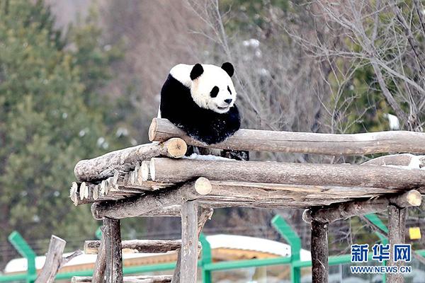 """大熊猫""""佑佑""""最喜欢爬上三米多高的凉亭看雪景。"""