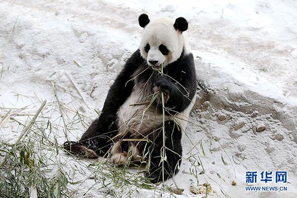 """""""竹子真好吃,雪地真软乎!"""" """"佑佑""""多吃点。"""