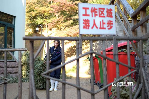 段美玲在回收熊猫不吃的剩竹子,口感不佳的竹子,熊猫全部会剩下来,留给饲养员打扫。