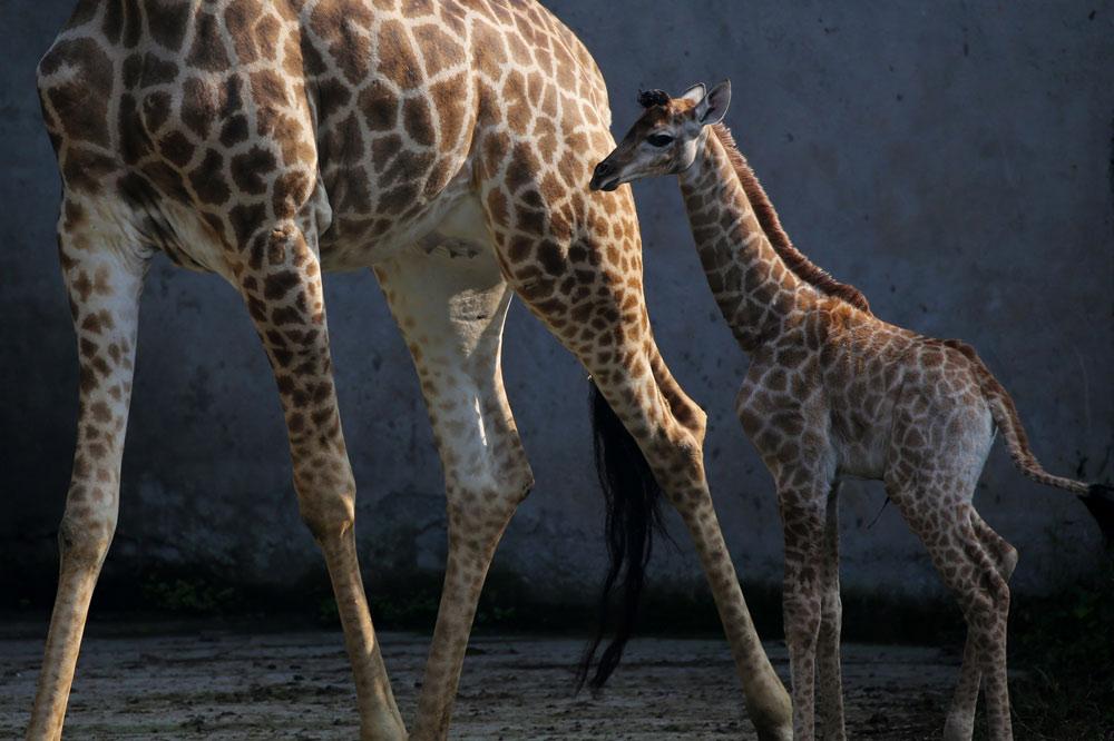 在重庆永川,近日,动物园里一头长颈鹿妈妈生下了一只雌性小长颈鹿.