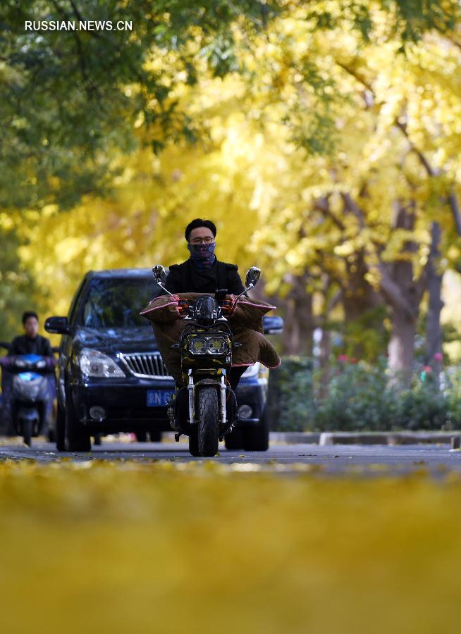 В Пекине одним из самых идеальных мест для любования золотыми листьями гинкго считается аллея гинкго, расположенная у стены государственной резиденции Дяоюйтай.