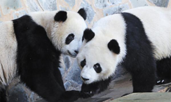 野生动物园熊猫馆