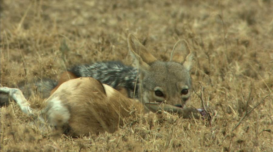 自然传奇 草原动物的生存绝技 11月25日