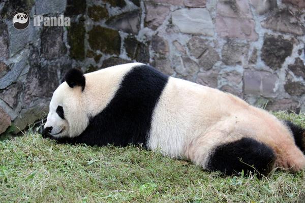 英英舒服地躺在自家草坪上