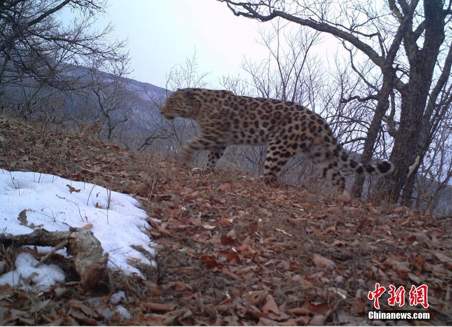 В Китае обнародовали серию новых видеоматериалов с дикими кошками