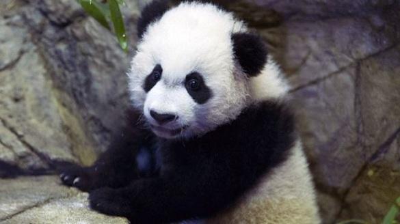 """旅美大熊猫""""贝贝"""""""