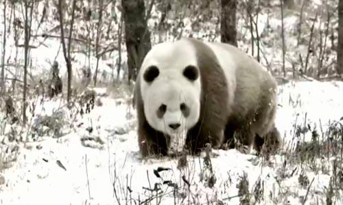 天气渐冷 国宝野生动物如何过冬