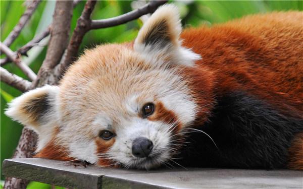 小熊猫 资料图