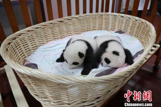 这对双胞胎兄妹十分活泼好动。 (图片 倪丽 摄)