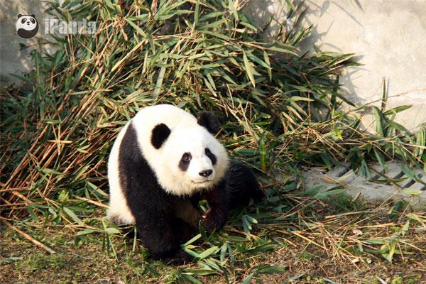 """大熊猫""""美轮"""""""