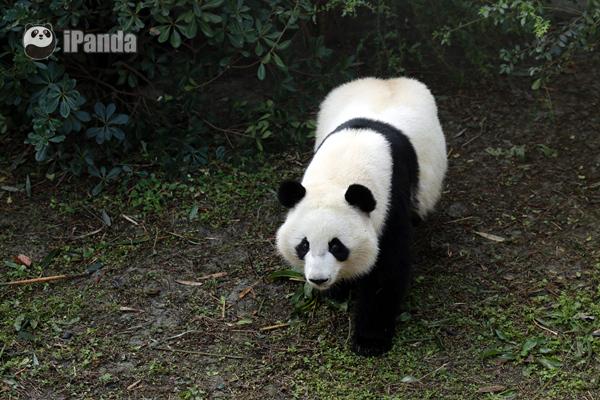 """大熊猫""""美奂"""""""
