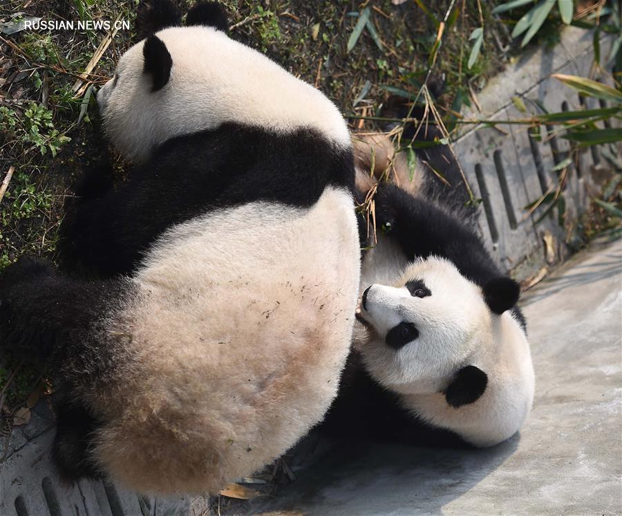 Вернувшиеся на родину панды-близнецы впервые появились на публике