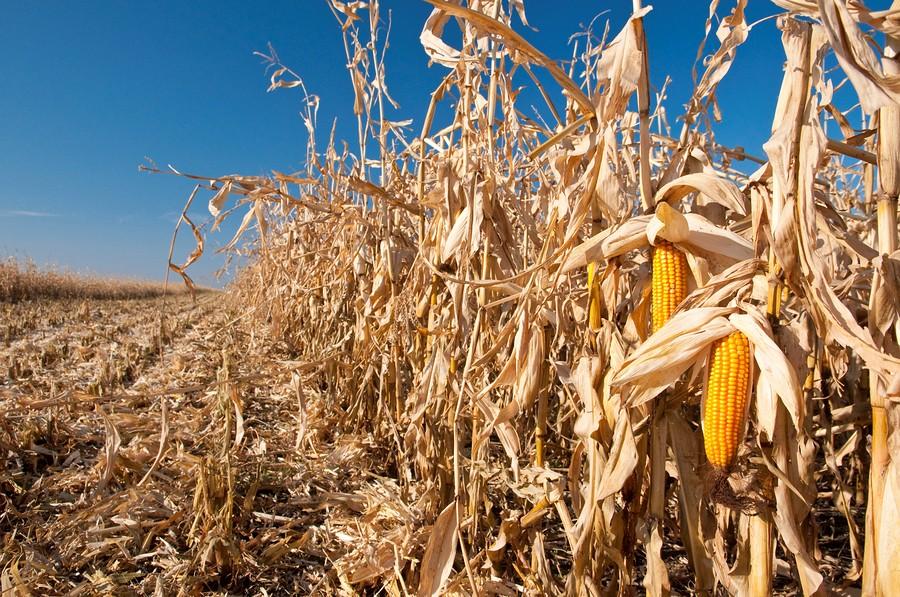 В Приморском крае начали убирать кукурузу с полей