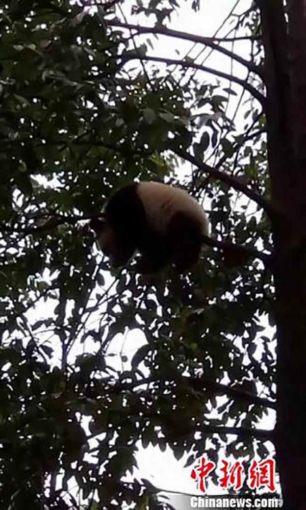 村民拍摄到的野生大熊猫 名山宣传部供图
