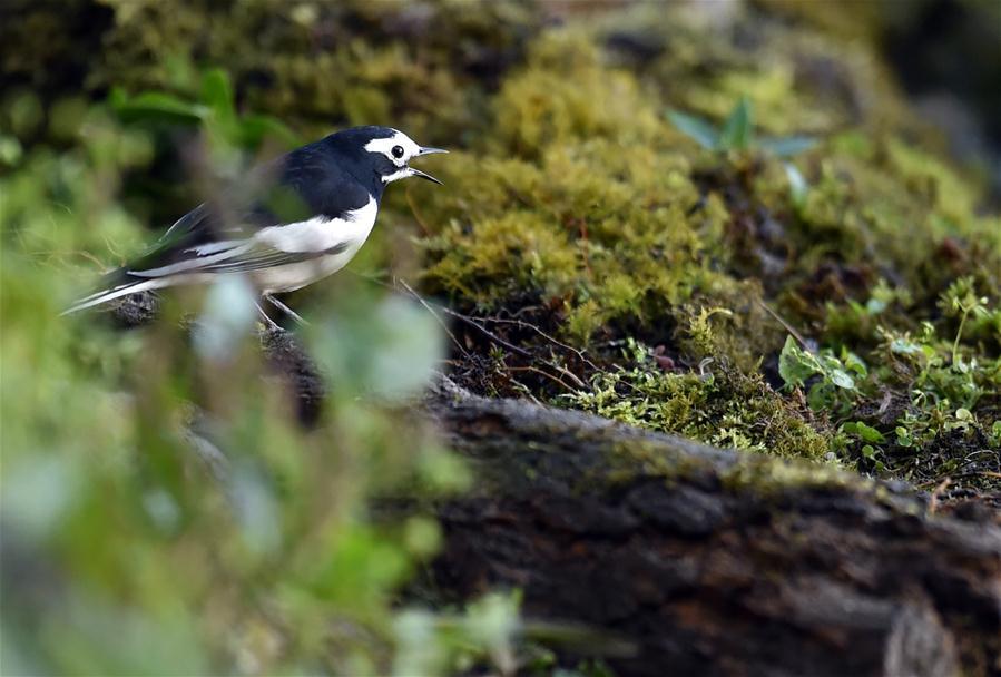 В горах Гаолигуншань проходит Международный птичий фестиваль