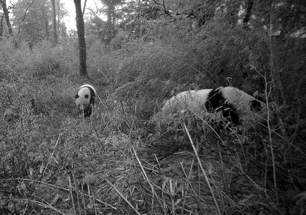 熊猫幼仔紧跟着母亲的步伐
