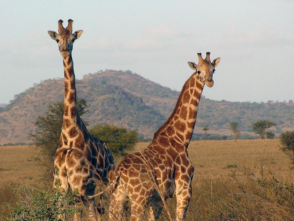 Population de girafes en hausse malgré le risque d